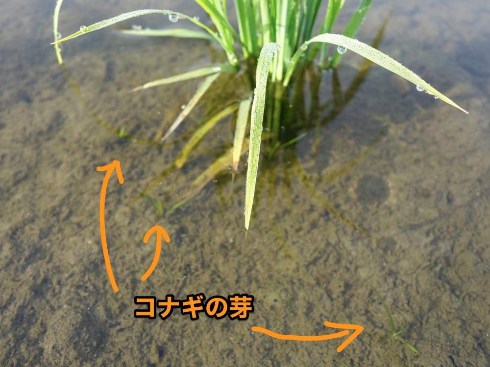 コナギの芽
