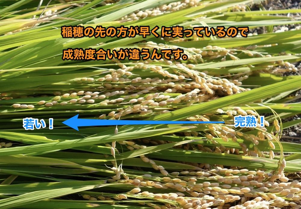稲穂の成長