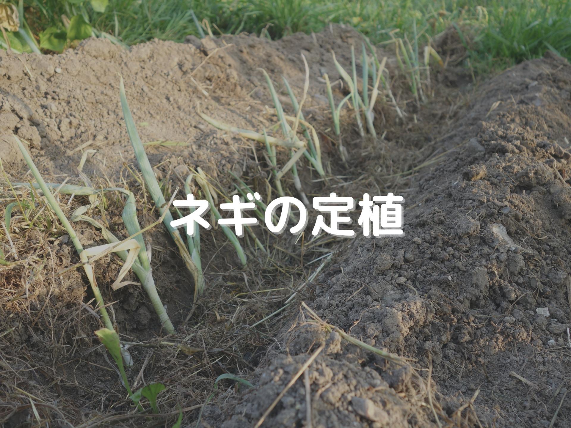 ネギの定植について